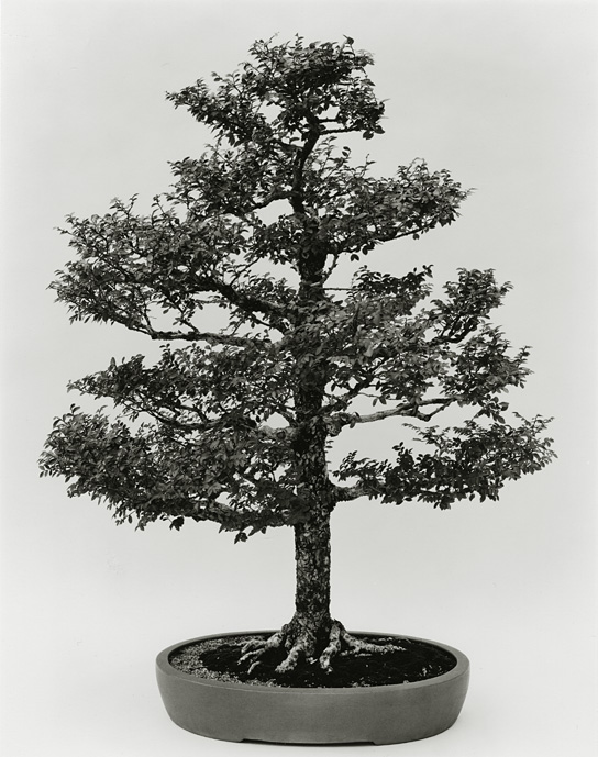 Chinese Elm, B81-0010-04, 8x10 Gelatin Silver Chloride Contact Print